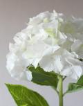 Белая-гортензия1