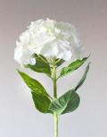 Белая-гортензия2