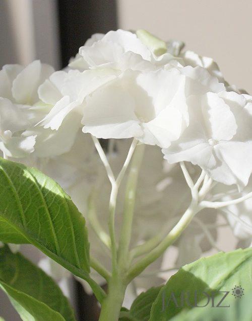 Белая-гортензия3