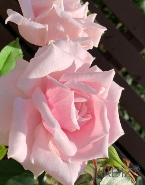Роза4