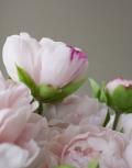 Розовые-пионы