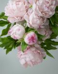Розовые-пионы3