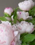 Розовые-пионы5
