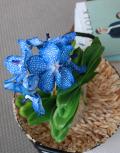 Синяя-орхидея-Ванда-вид-сверхуjpg