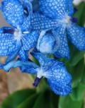 Синяя-орхидея-Ванда-макро