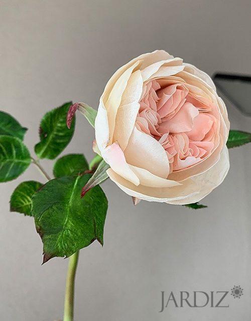 роза-остин2