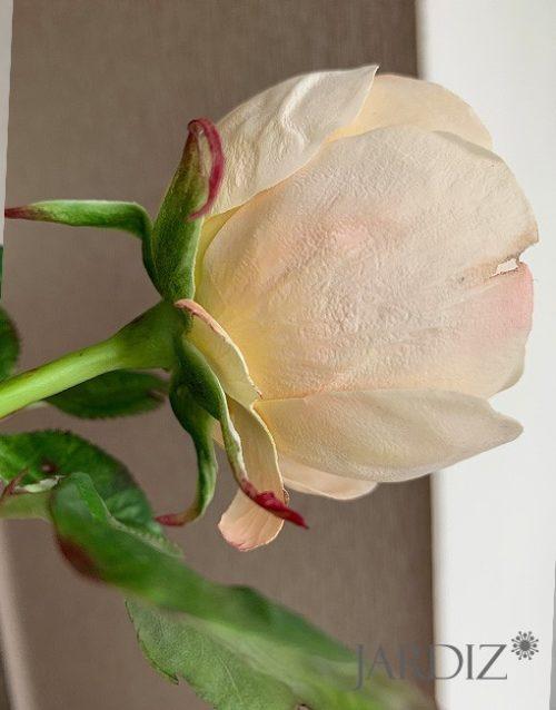 роза-остин3