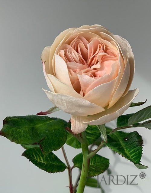 роза-остин4