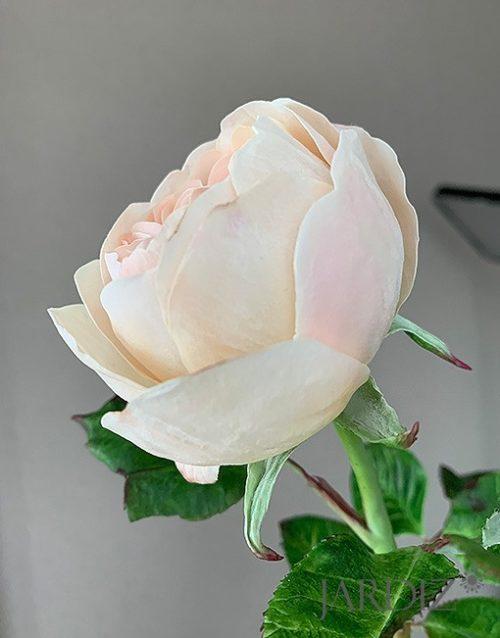 роза-остин5