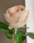 роза-остин6