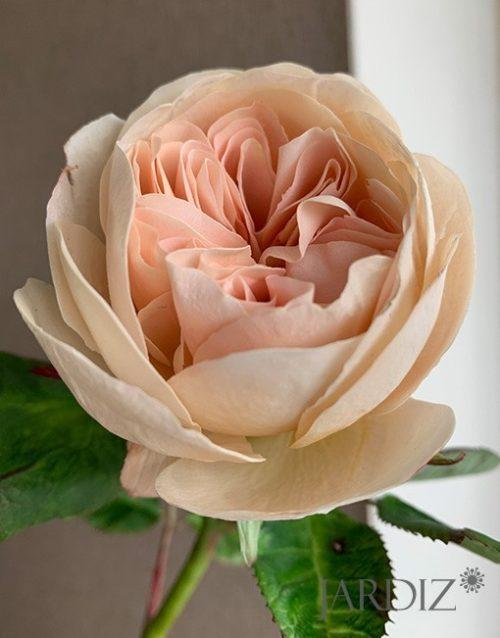 роза-остин7